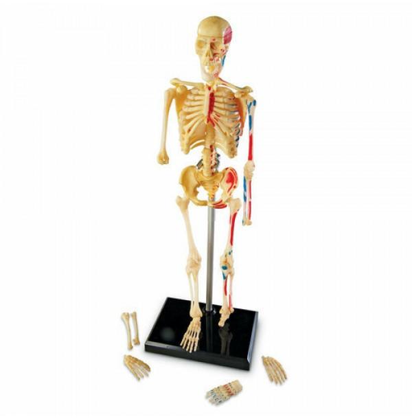 """Конструктор """"Анатомия человека. Скелет"""" (41 элемент) LER3337"""