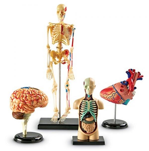 Комплект анатомических моделей. LER 3338